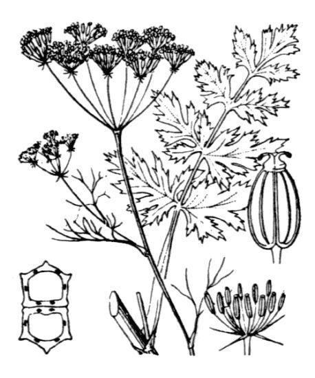 Ptychotis saxifraga (L.) Loret & Barrandon