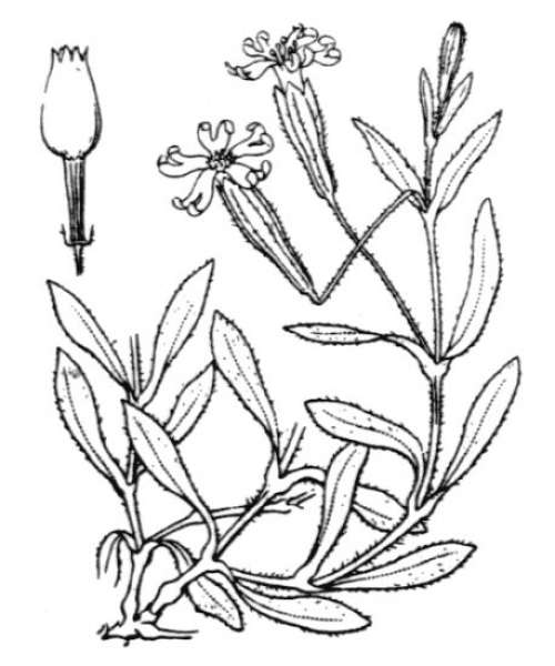 Silene vallesia L.
