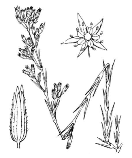 Minuartia rubra (Scop.) McNeill