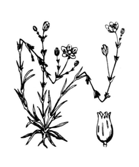 Sagina nodosa (L.) Fenzl
