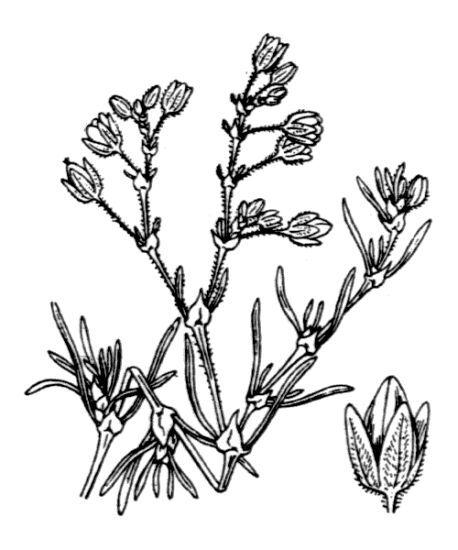 Spergularia nicaeensis Burnat