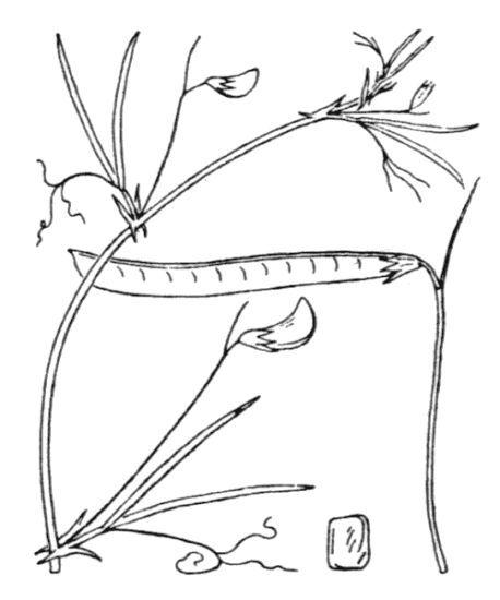 Lathyrus angulatus L.