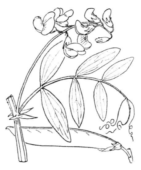 Lathyrus cirrhosus Ser.