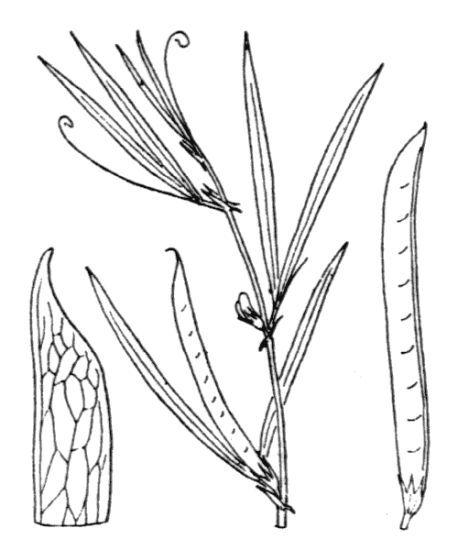 Lathyrus inconspicuus L.