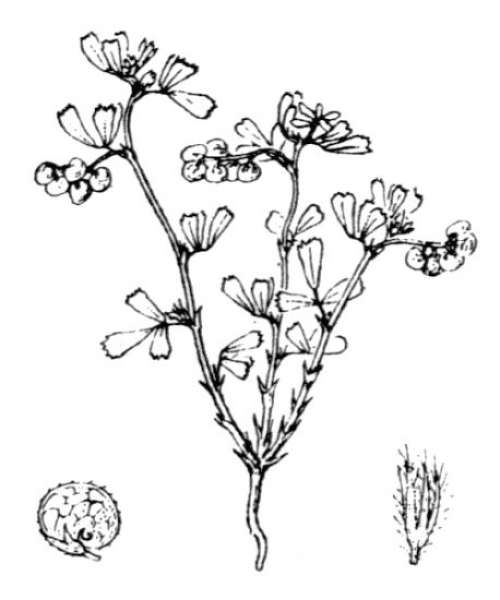 Medicago secundiflora Durieu