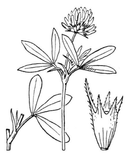Trifolium squamosum L.