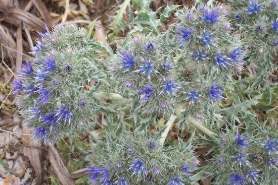 Cardopatium corymbosum (L.) Pers.