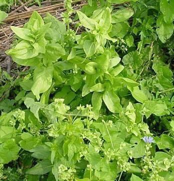 Cichorium endivia L. subsp. endivia