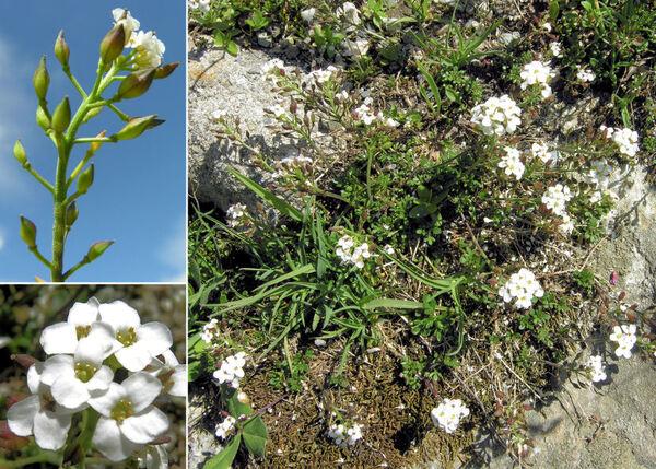 Hornungia alpina (L.) O.Appel subsp. brevicaulis (Spreng.) O.Appel