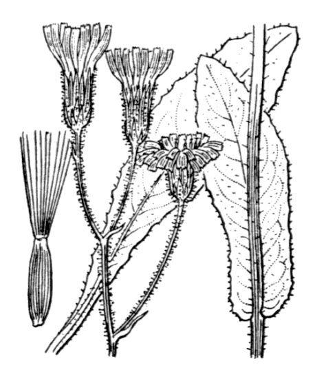 Crepis mollis (Jacq.) Asch. subsp. mollis