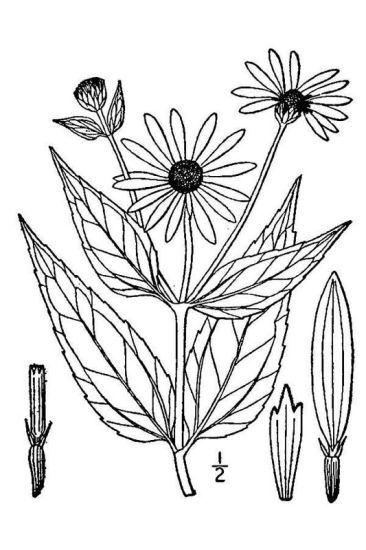 Helianthus pauciflorus Nutt.