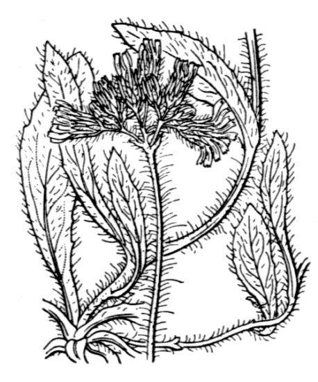 Pilosella caespitosa (Dumort.) P.D.Sell & C.West
