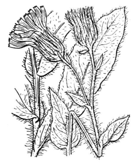 Hieracium chlorifolium Arv.-Touv.