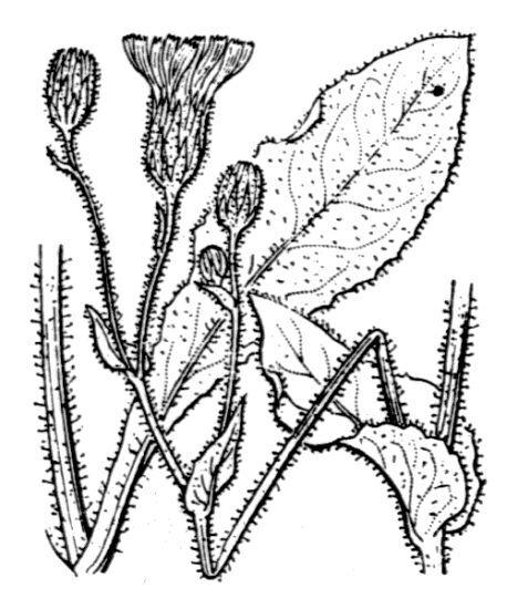 Hieracium pseudocerinthe (Gaudin) W.D.J.Koch subsp. pseudocerinthe