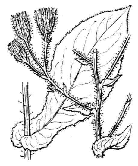 Hieracium ramosissimum Schleich. ex Hegetschw.