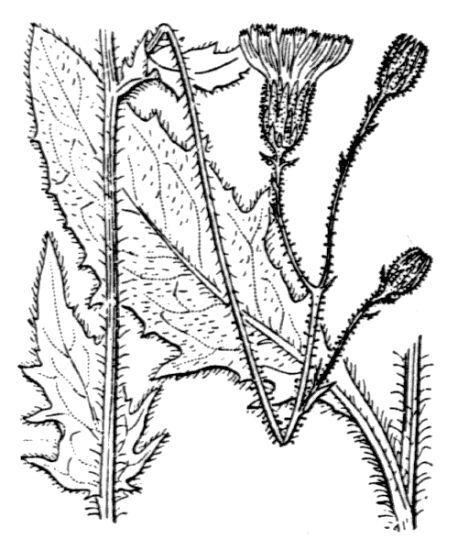 Hieracium rapunculoides Arv.-Touv.
