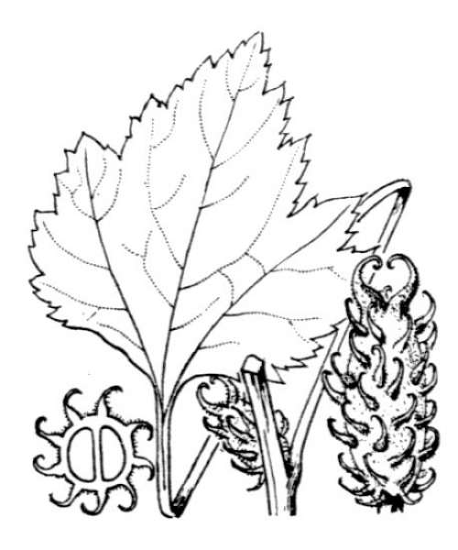 Xanthium orientale L.