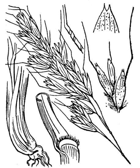 Helictotrichon sedenense (Clarion ex DC.) Holub subsp. sedenense