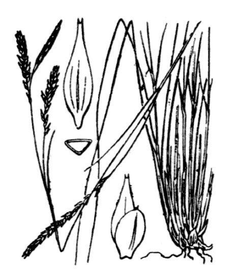 Carex brachystachys Schrank
