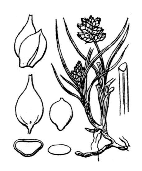 Carex maritima Gunnerus