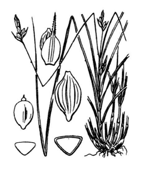 Carex oedipostyla Duval-Jouve