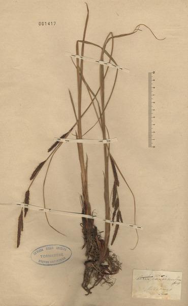 Carex panormitana Guss.