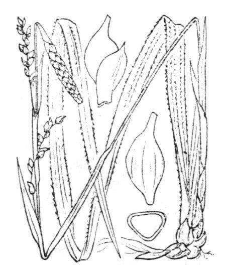 Carex pilosa Scop.