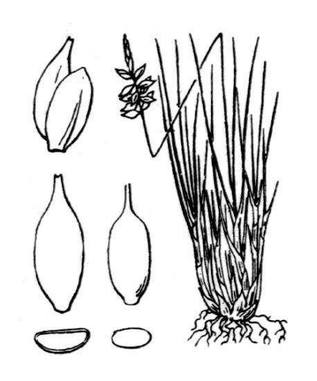 Carex pulicaris L.
