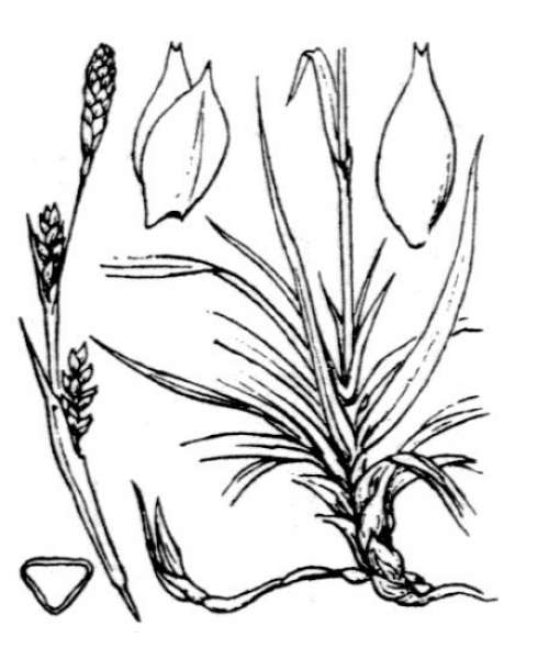 Carex vaginata Tausch