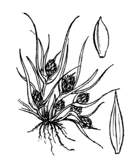 Cyperus michelianus (L.) Delile