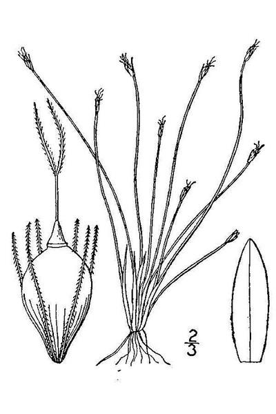 Eleocharis olivacea Torr.