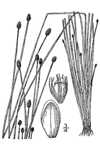 Eleocharis obtusa (Willd.) Schult.