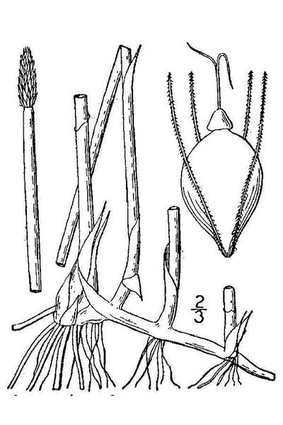Eleocharis palustris (L.) Roem. & Schult. subsp. palustris