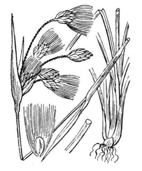 Eriophorum latifolium Hoppe