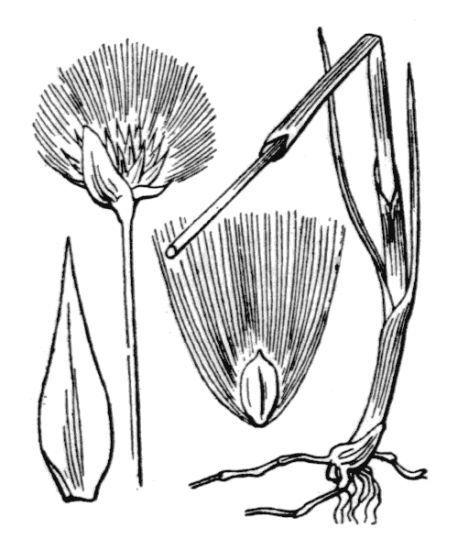 Eriophorum scheuchzeri Hoppe