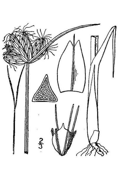 Schoenoplectus pungens (Vahl) Palla