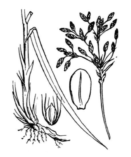 Scirpus radicans Schkuhr