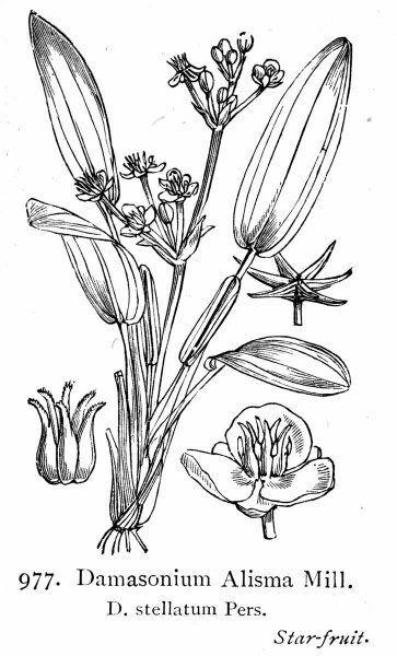 Damasonium alisma Mill. subsp. alisma