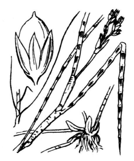 Juncus heterophyllus Dufour