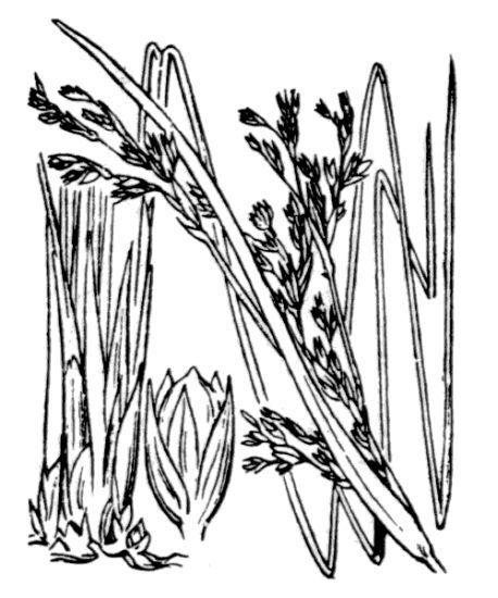 Juncus rigidus Desf.