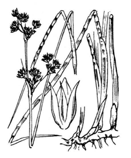Juncus striatus Schousb. ex E.Mey.