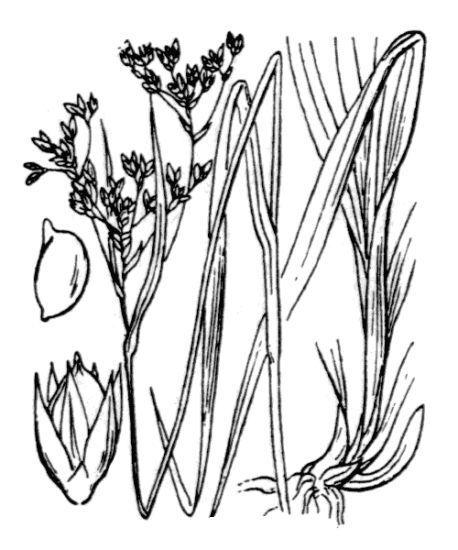 Luzula glabrata (Hoppe) Desv.