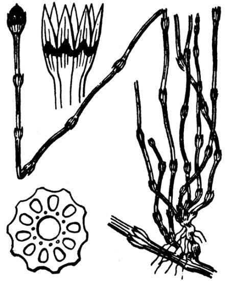 Equisetum variegatum Schleich. ex F.Weber & D.Mohr