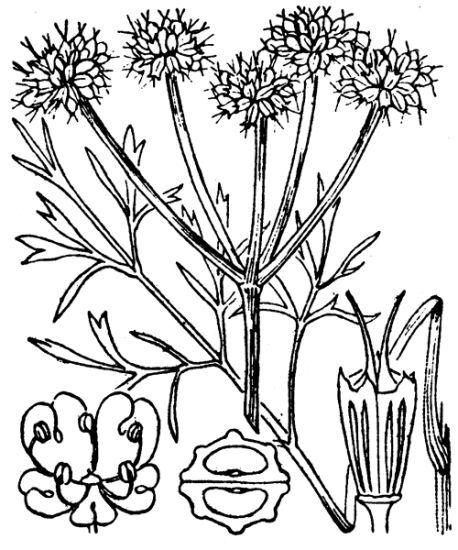 Oenanthe silaifolia M.Bieb.