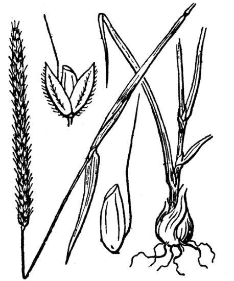 Alopecurus bulbosus Gouan subsp. bulbosus