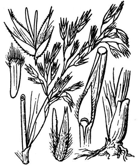 Ampelodesmos mauritanicus (Poir.) T.Durand & Schinz