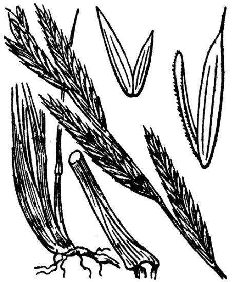 Brachypodium phoenicoides (L.) Roem. & Schult.