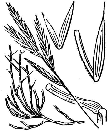 Brachypodium retusum (Pers.) P.Beauv.