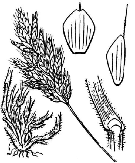 Bromus hordeaceus L. subsp. hordeaceus