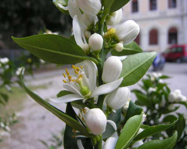 Citrus x myrtifolia (Risso) Raf.